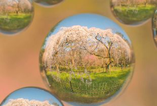 Minimum landscape of spherical.A beautiful cherry tree