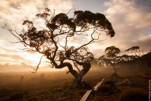 Eucalyptus, Cradle Mountain-Lake St Clair National Park, Tasmania (Overland Track), Australia