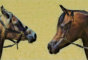 Awesome Arabians