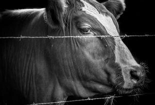 Cow, Buttonwood Farm, CT, 2018