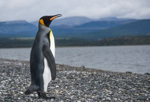 The elegance of the real penguin