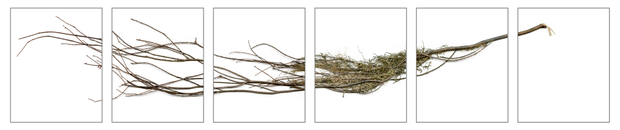 Conditions for an Unfinished Work of Mourning: Wretched Yew (Si's Branch, Dried), 2020