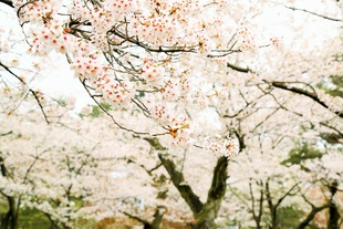 The Legend of Princess Sakura