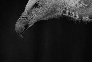 White Hooded Vulture