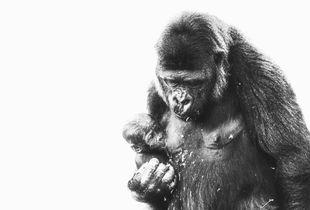 Western Lowland Gorilla & Baby