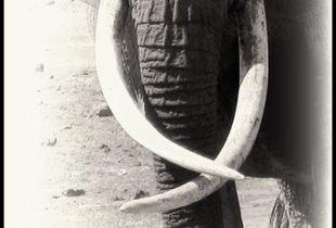 She Who Wears Ivory 1