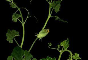 Breve expedición botánica - Calabaza
