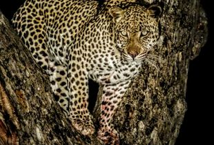 Leopard on a tree making eye contact