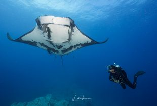 Diver and Giant Manta