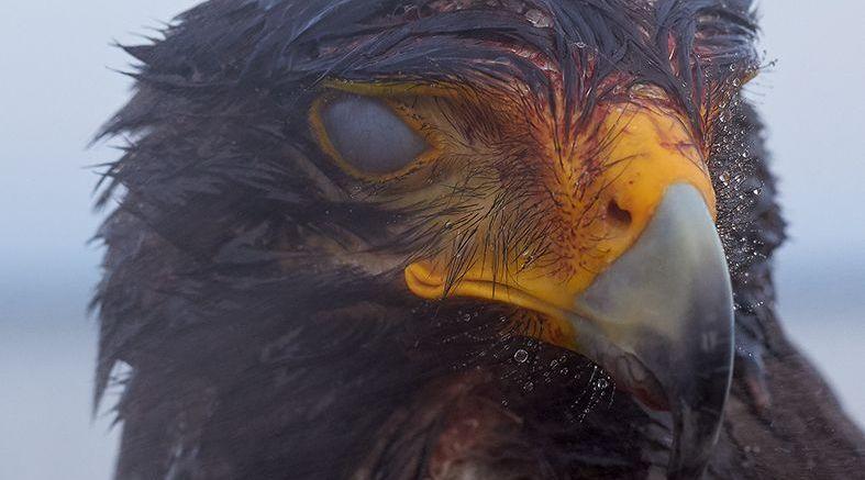 Algunas aves no están destinadas a ser enjauladas (eng)