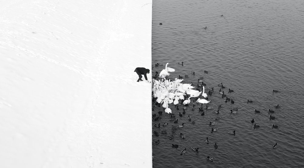 A Man Feeding Swans in the Snow - | LensCulture