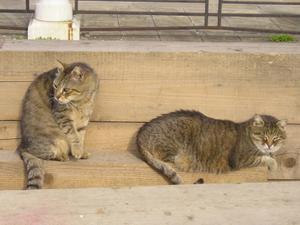 Venetian Cats