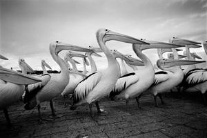 Pelicans. The Entrance, Australia, 2012.