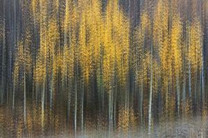 Aspen stand, Autumn