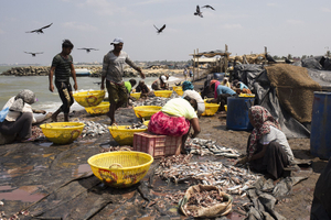 Washing and salting the fish, Negombo, Sri Lanka