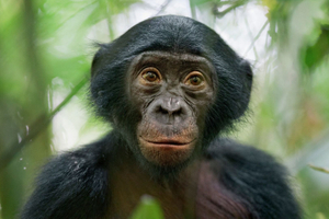 3rd Prize Nature Stories. A 5-year-old bonobo, member of a wild group of bonobos near the Kokolopori Bonobo Reserve, in the DRC. Despite being humans' closest living relatives, little is known about Bonobos and their behavior in the wild in remote parts of the Congo basin. Bonobos are threatened by habitat loss and bush meat trade © Christian Ziegler, Germany, for National Geographic Magazine