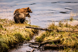 Grizzlies and salmon