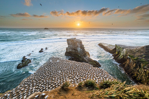 Sunset over the Muriwai Gannet colony New Zealand.