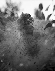Tent Caterpillar Web #2