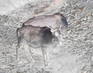 Reindeers in the outskirts of Longyearbyen, Svalbard. The mortality of the Arctic reindeer is increasing as the Arctic temperatures are rising.