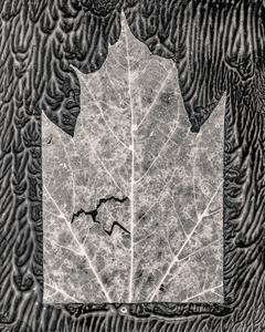 Leaf Cut #1, maple, 2018