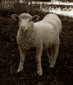 A sheep can hide another, Rambouillet
