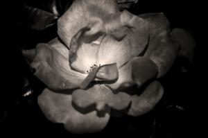Face of a Rose © Rebecca Moseman