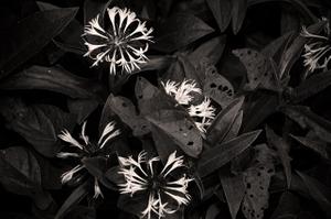 Natural Beauty_Starbursts deux