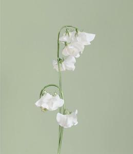 SWEET PEA [Lathyrus gemmae] Actual flower jewellery