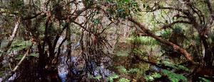 Fakahatchee Swamp