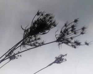 winterbloom - queen anne's lace