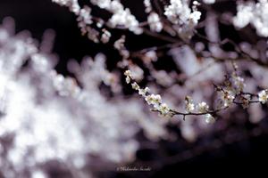 白梅が2、3輪ほころび、日はうららかで春の気配がそこはかとなく漂う