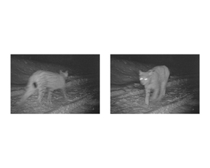Lynx, still from FCC camera trap