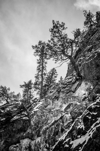 Canmore Tree