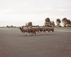 Sheeps. Civilian airport