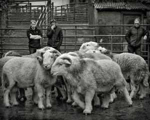 Aged Herdwick Tups, Broughton-in-Furness, 2017