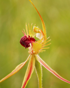 Beauty in the bush: ray spider orchid