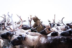 Reindeer Selection