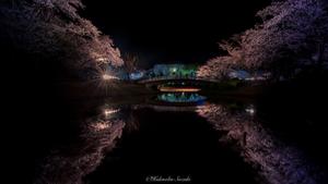 Night Sakura Butterfly