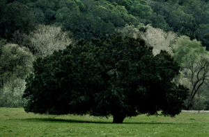 Vert California, Portraits of Trees