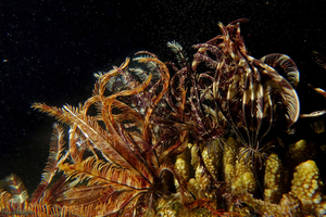 Sea-lilies spawning