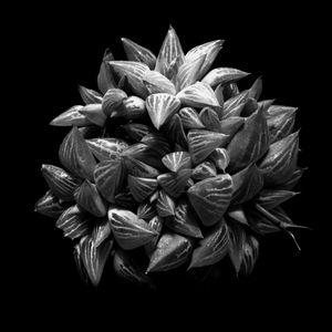Succulent Series #5  - Haworthia