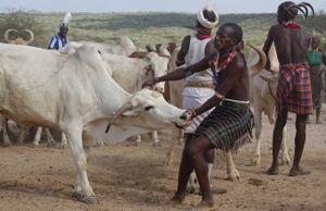 Bull-Jump Ceremony:              Choosing a suitable bull.