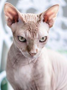 BONO THE NUDE CAT