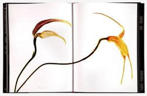 Spread 146, Chapare Masdevallia Orchid (Masdevallia chaparensis)  From the book, joSon Intimate Portraits of Nature