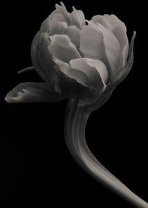 Peony Tulip