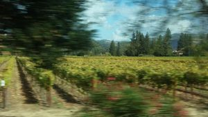 Impressionist view of a vine
