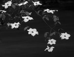 Blooming Dogwoods © Vidya Narasimhan, United States
