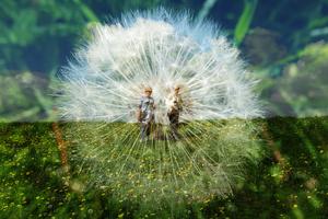 walking thru the Dandelion