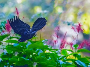 Grackle Flying Through Red Salvia